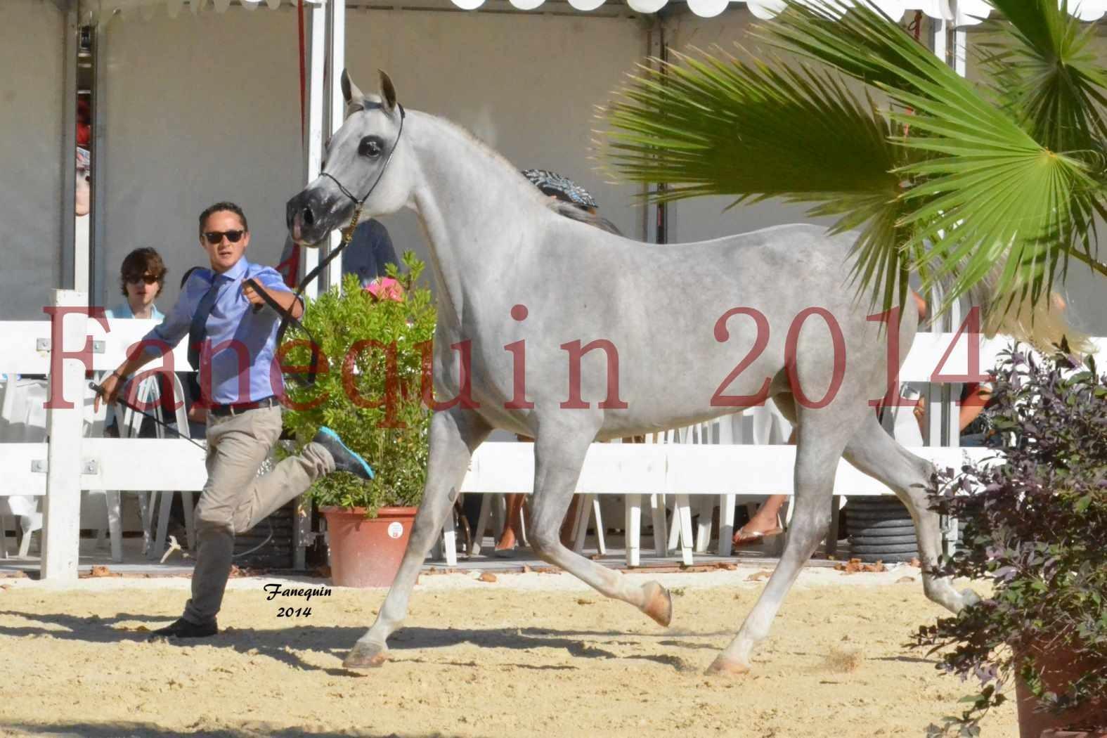 Concours National de Nîmes de chevaux ARABES 2014 - Notre Sélection - ELLESTERA - 13
