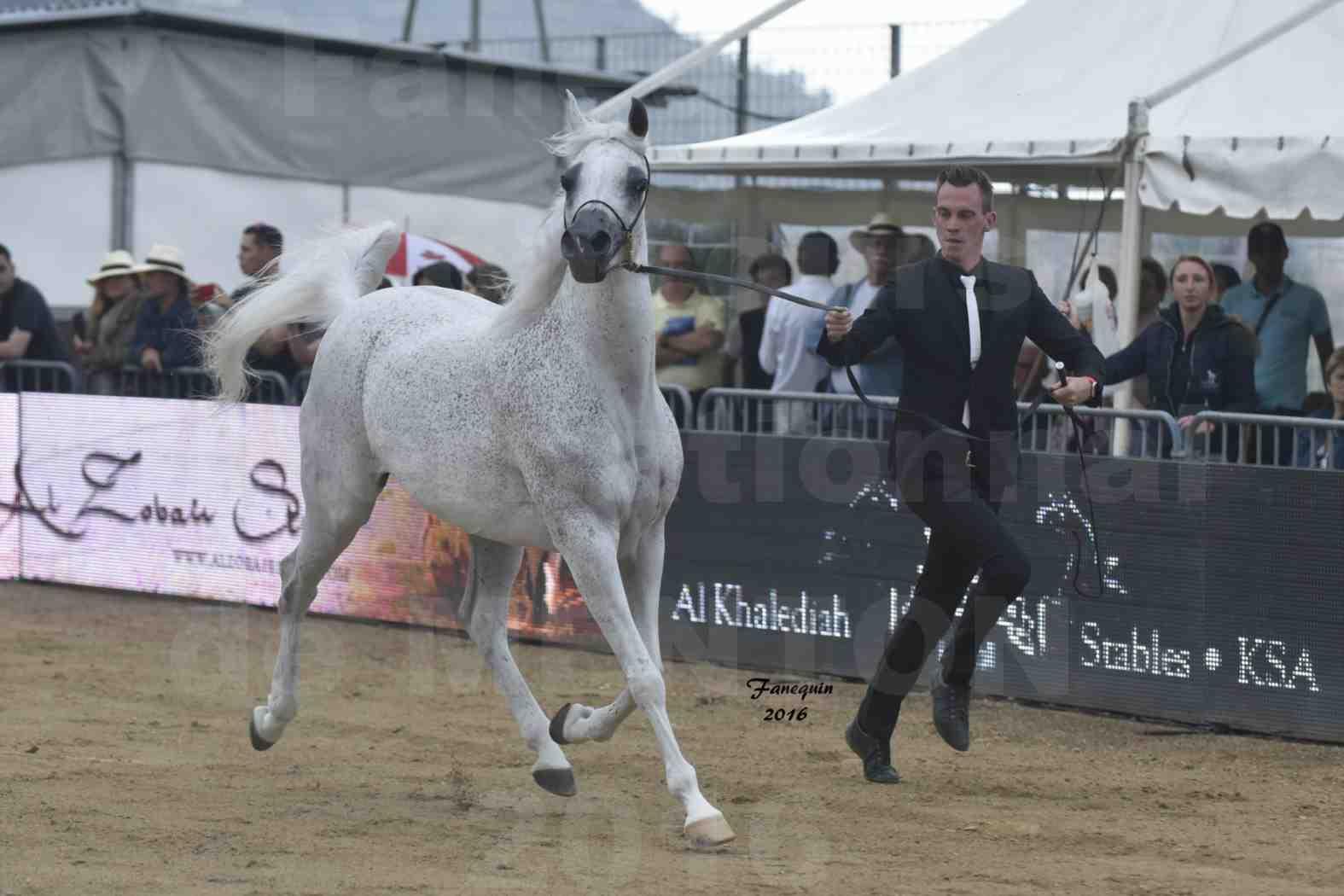 Championnat du pur-sang arabe de la Méditerranée et des pays arabes - MENTON 2016 - MAGIC MA CHERIE - Notre Sélection - 05