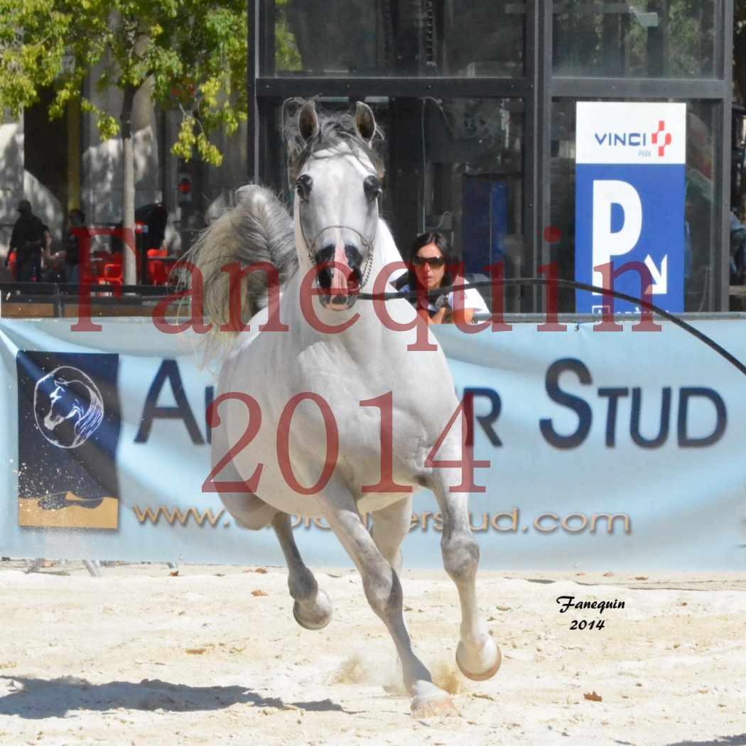 Concours National de Nîmes de chevaux ARABES 2014 - Notre Sélection - SHAOLIN DE NEDJAIA - 20