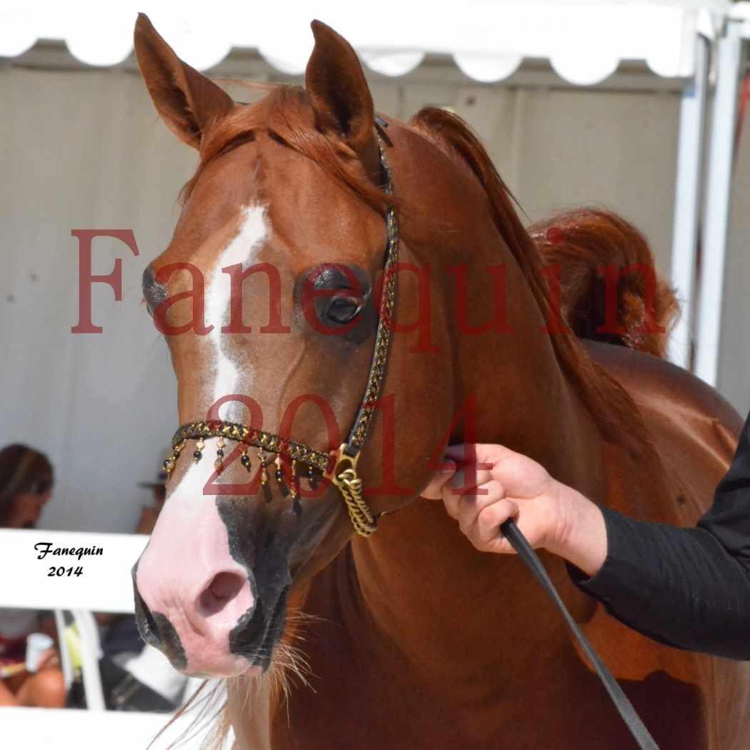 Concours National de Nîmes de chevaux ARABES 2014 - Notre Sélection - Portraits - VALMYSTIC DE LA ROTJA - 2