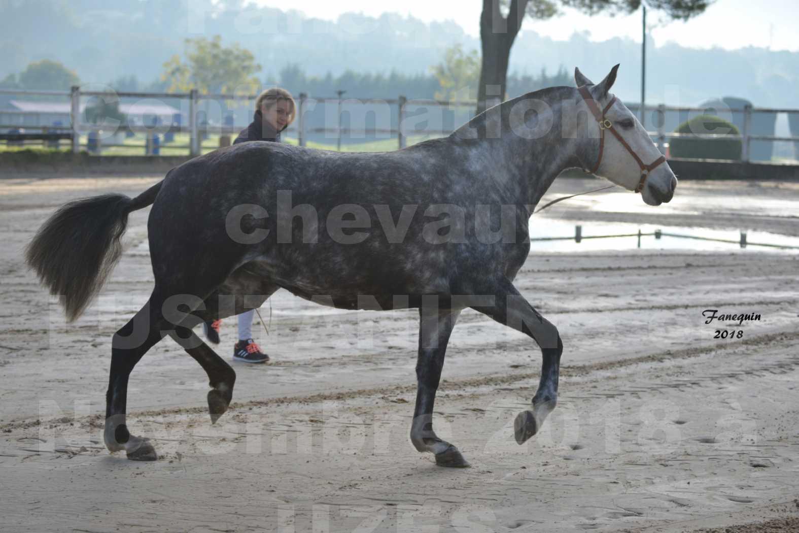 Confirmation de chevaux LUSITANIENS aux Haras d'UZES Novembre 2018 - JANIA SAINT SAUVEUR - 6