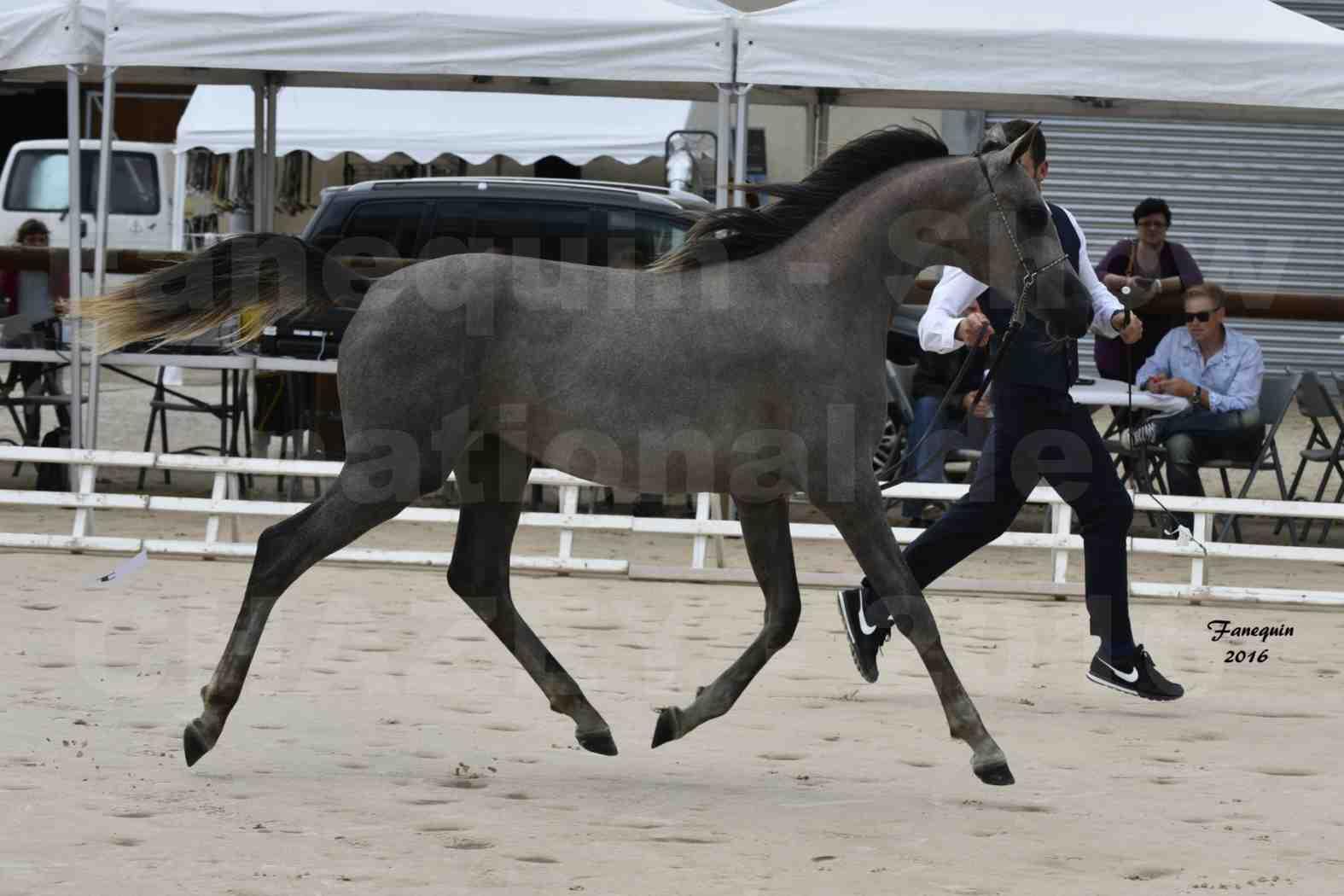 Show national de chevaux arabes de CHAZEY sur AIN 2016 - NM HACINA - Notre Sélection - 04