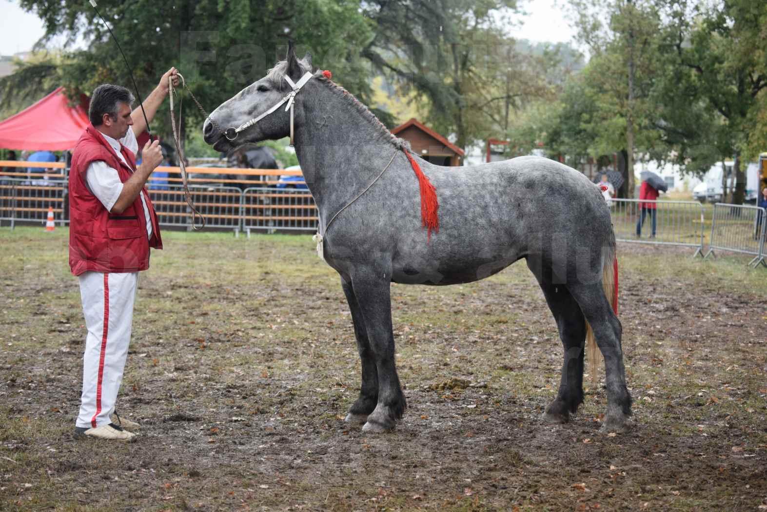Concours Régional de chevaux de traits en 2017 - Pouliche Trait PERCHERON - FANY DES COUSTAUSSES - 5