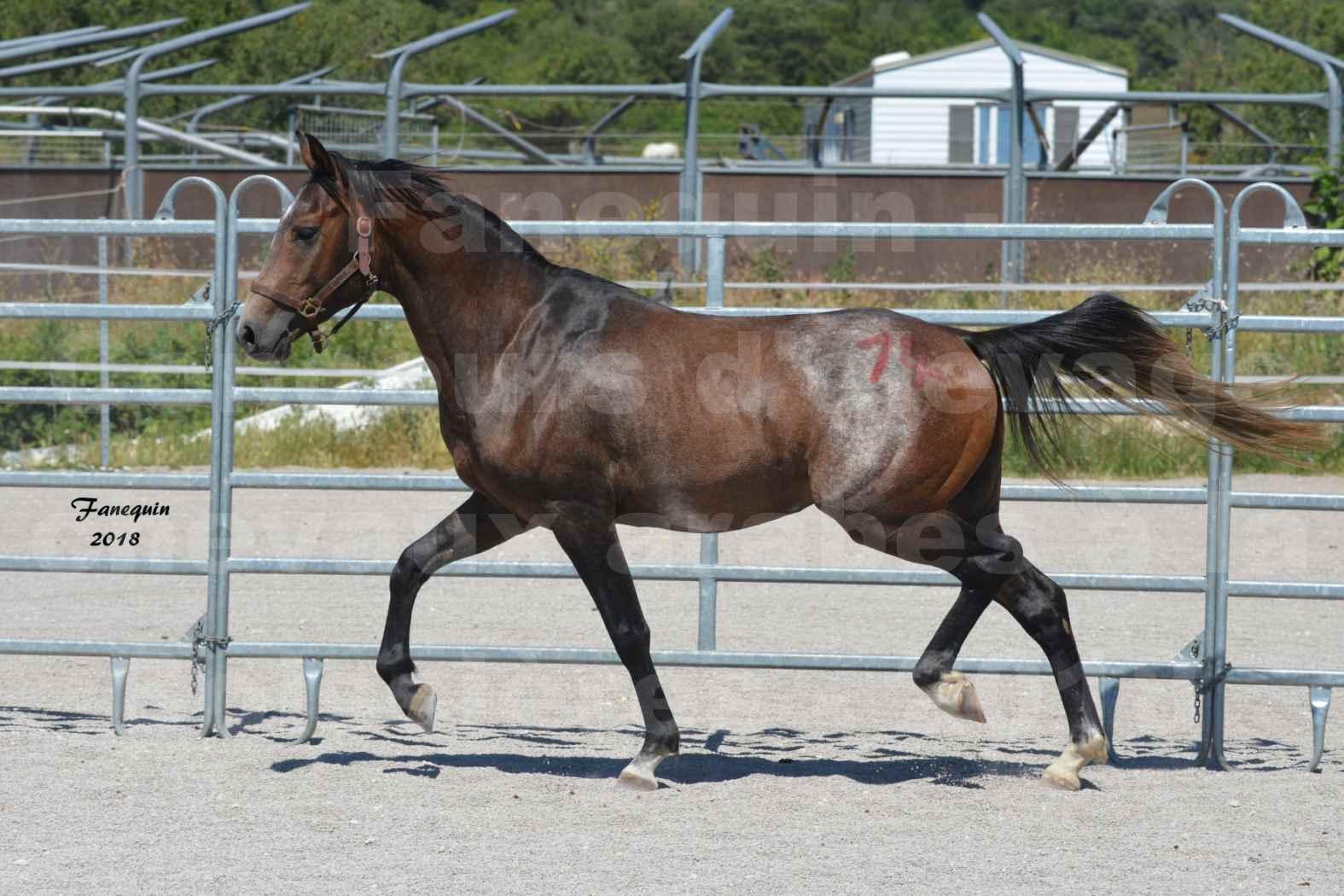 Concours d'Elevage de chevaux Arabes  le 27 juin 2018 à la BOISSIERE - DORKKAN DE FIGNOLS - 08