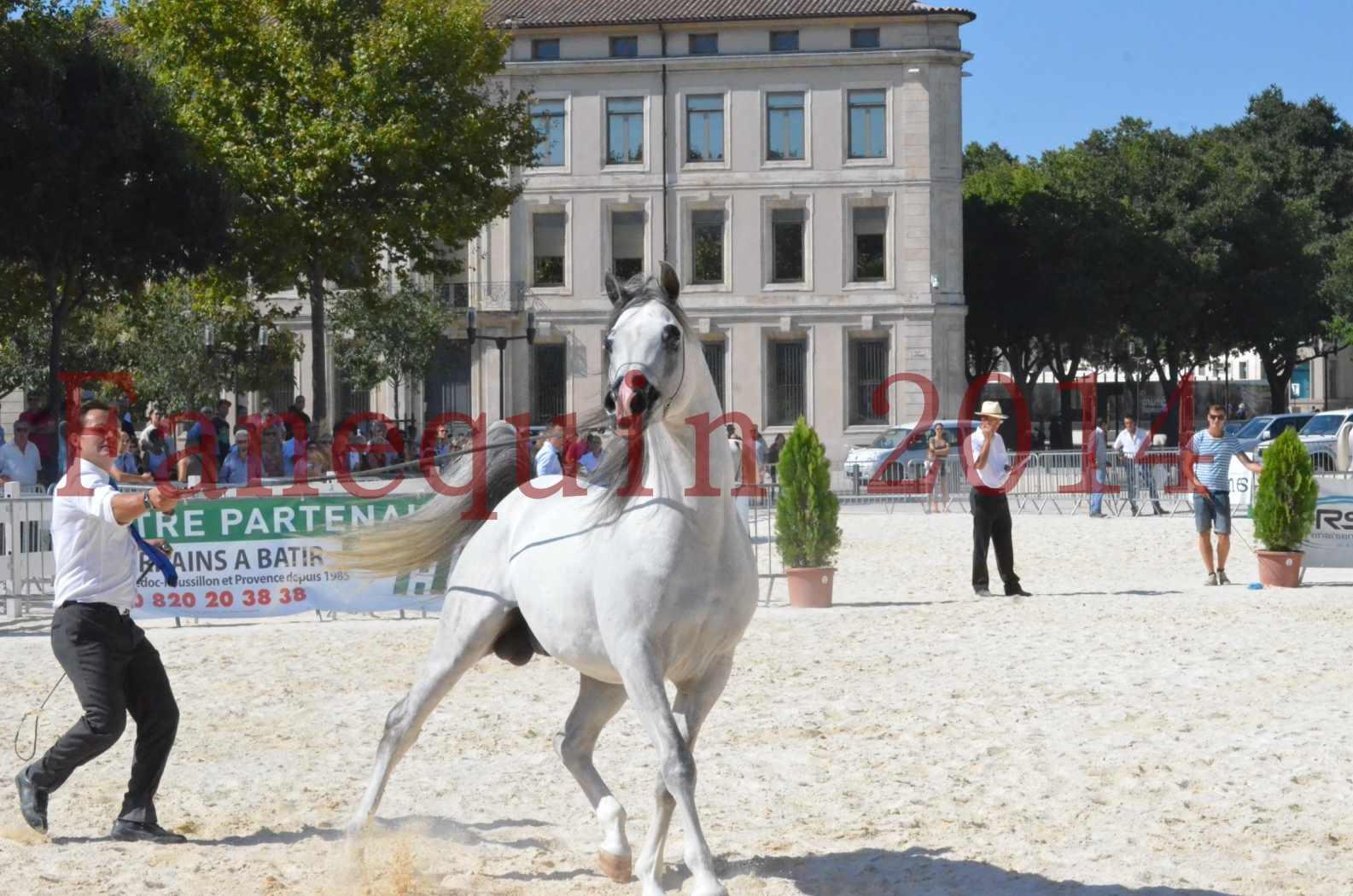 Concours National de Nîmes de chevaux ARABES 2014 - Sélection - SHAOLIN DE NEDJAIA - 56
