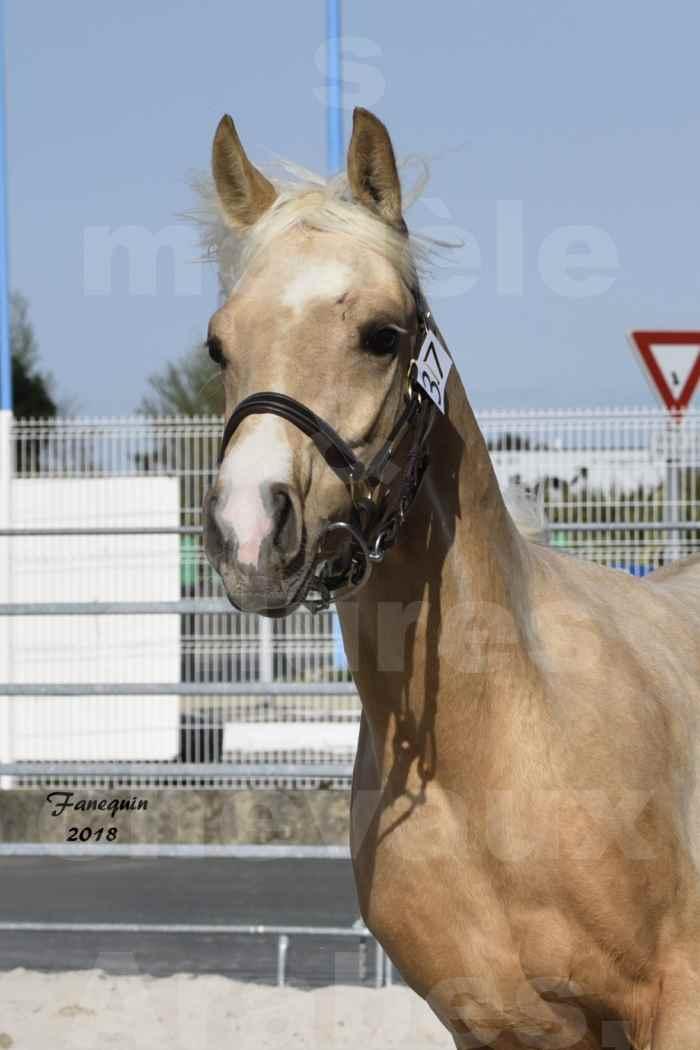 Concours d'élevage de Chevaux Arabes - D. S. A. - A. A. - ALBI les 6 & 7 Avril 2018 - GOLD DE DARRE - Notre Sélection - Portraits - 7