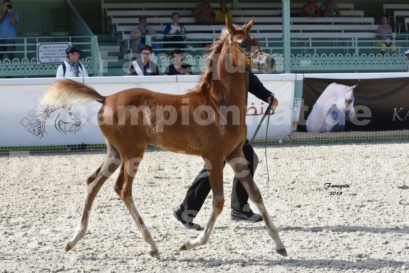 Championnat de France des chevaux Arabes en 2019 à VICHY - SH CYRENE - 2