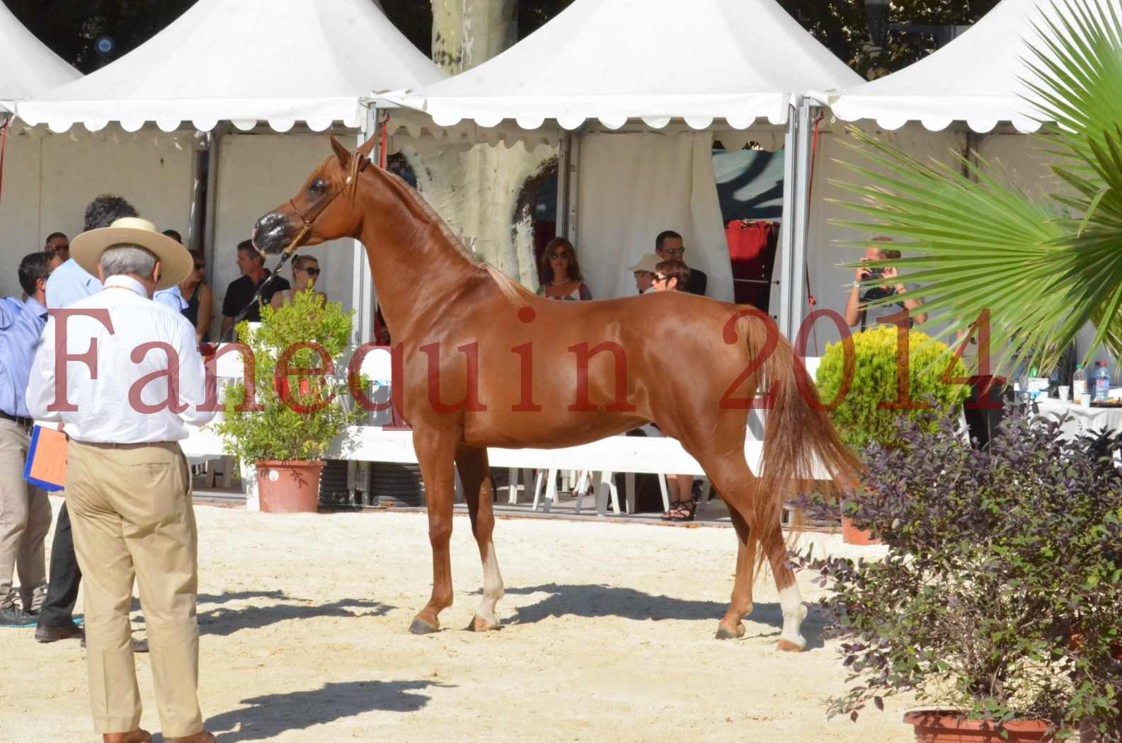Concours National de Nîmes de chevaux ARABES 2014 - Championnat - MASSAI DE BARREL - 84