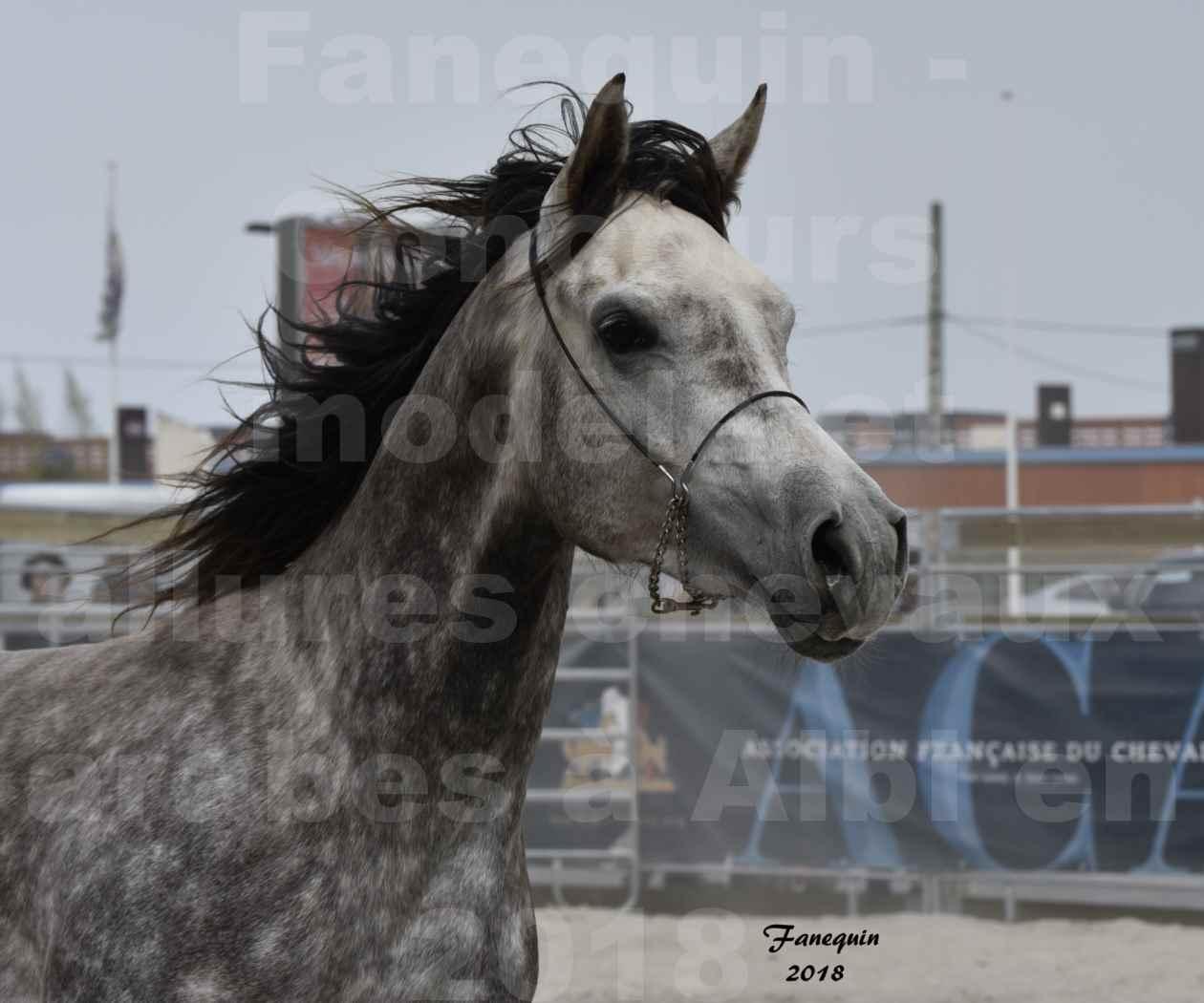 Concours d'élevage de Chevaux Arabes - Demi Sang Arabes - Anglo Arabes - ALBI les 6 & 7 Avril 2018 - PERCEVAL DE LAFON - Notre Sélection - Portraits - 07