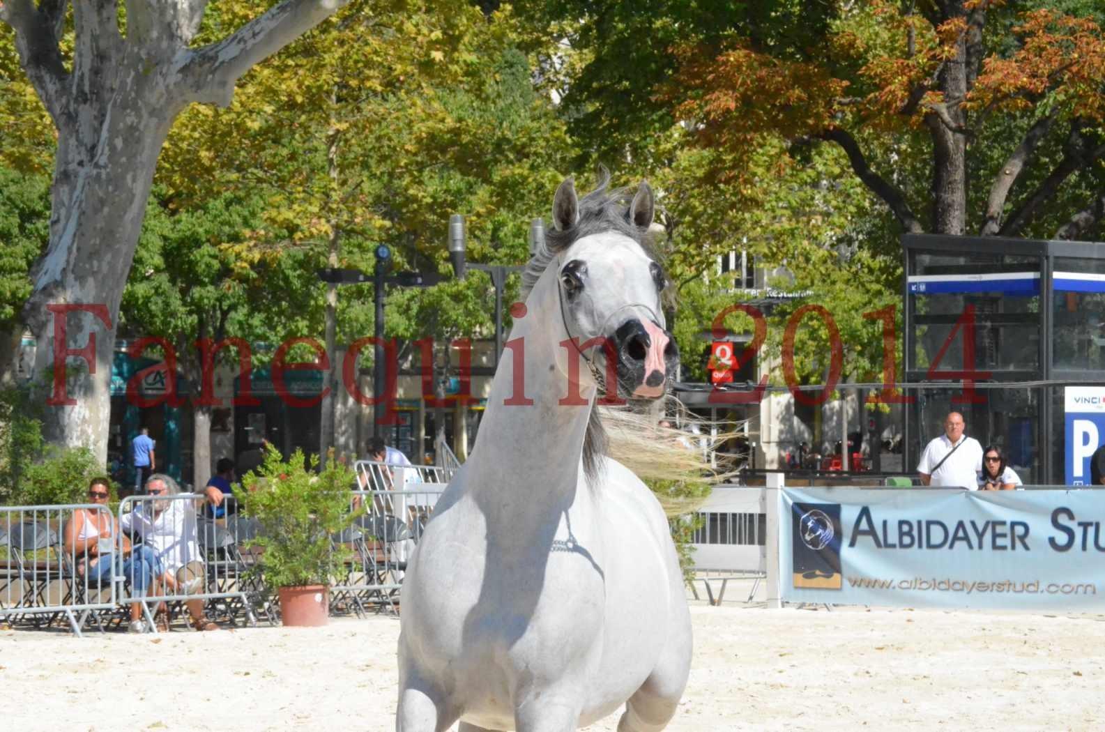 Concours National de Nîmes de chevaux ARABES 2014 - Sélection - SHAOLIN DE NEDJAIA - 51