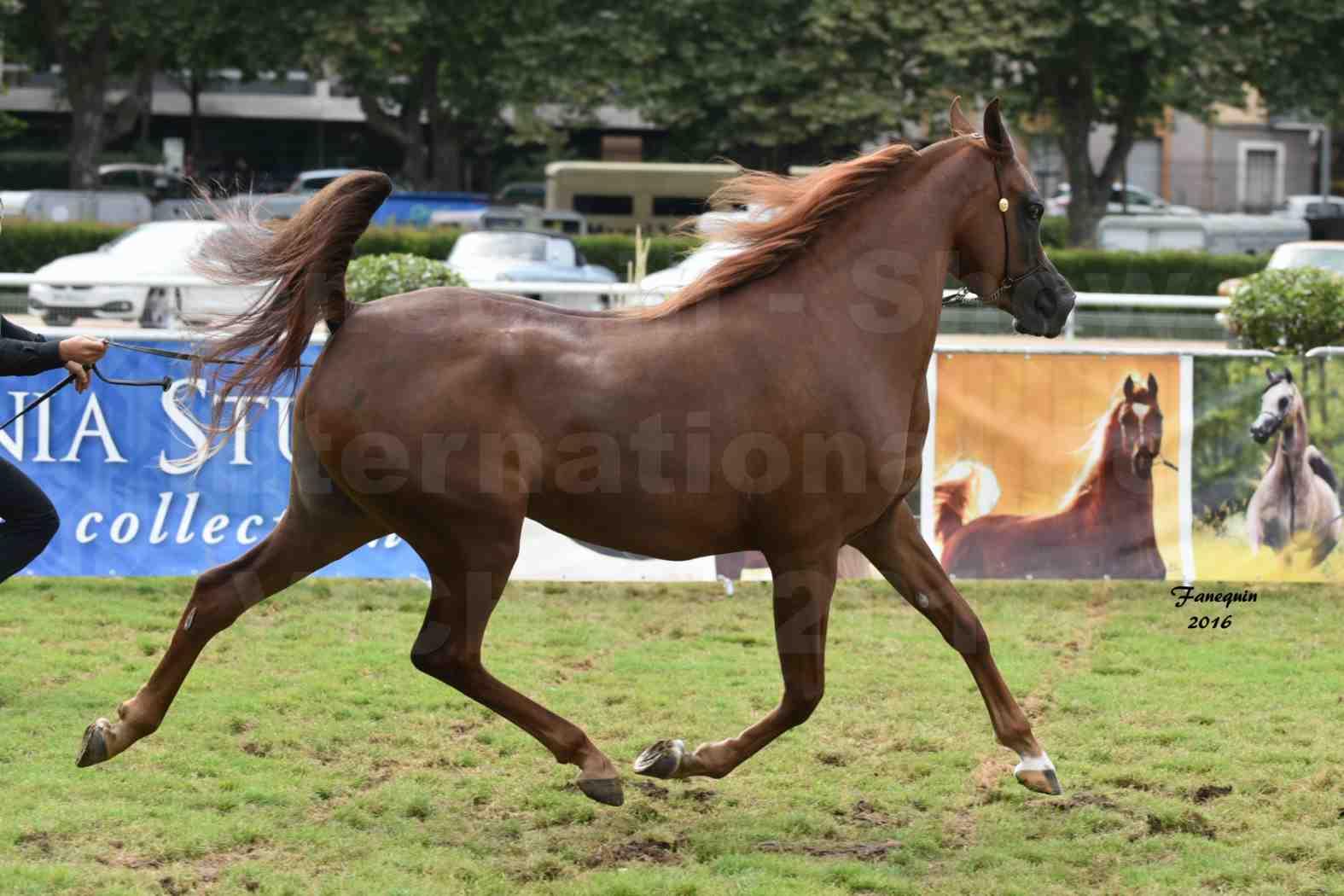 International Arabian Horse Show B de VICHY 2016 - PEARL DE DJOON - Notre Sélection - 37