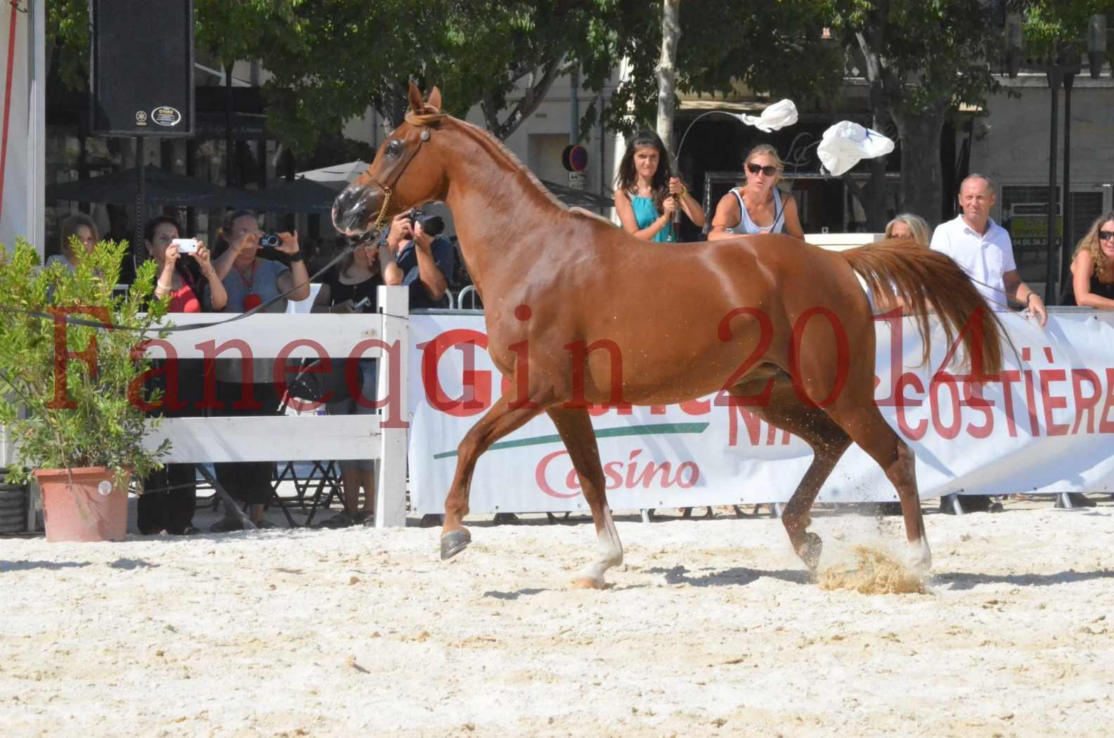 Concours National de Nîmes de chevaux ARABES 2014 - Championnat - MASSAI DE BARREL - 22