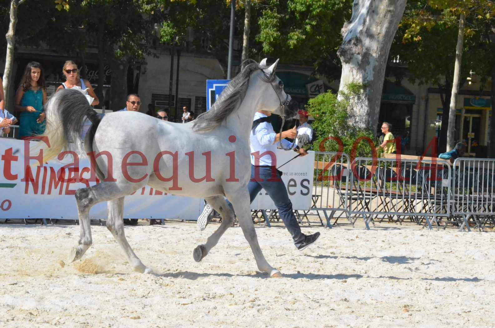 Concours National de Nîmes de chevaux ARABES 2014 - Championnat - SHAOLIN DE NEDJAIA - 16