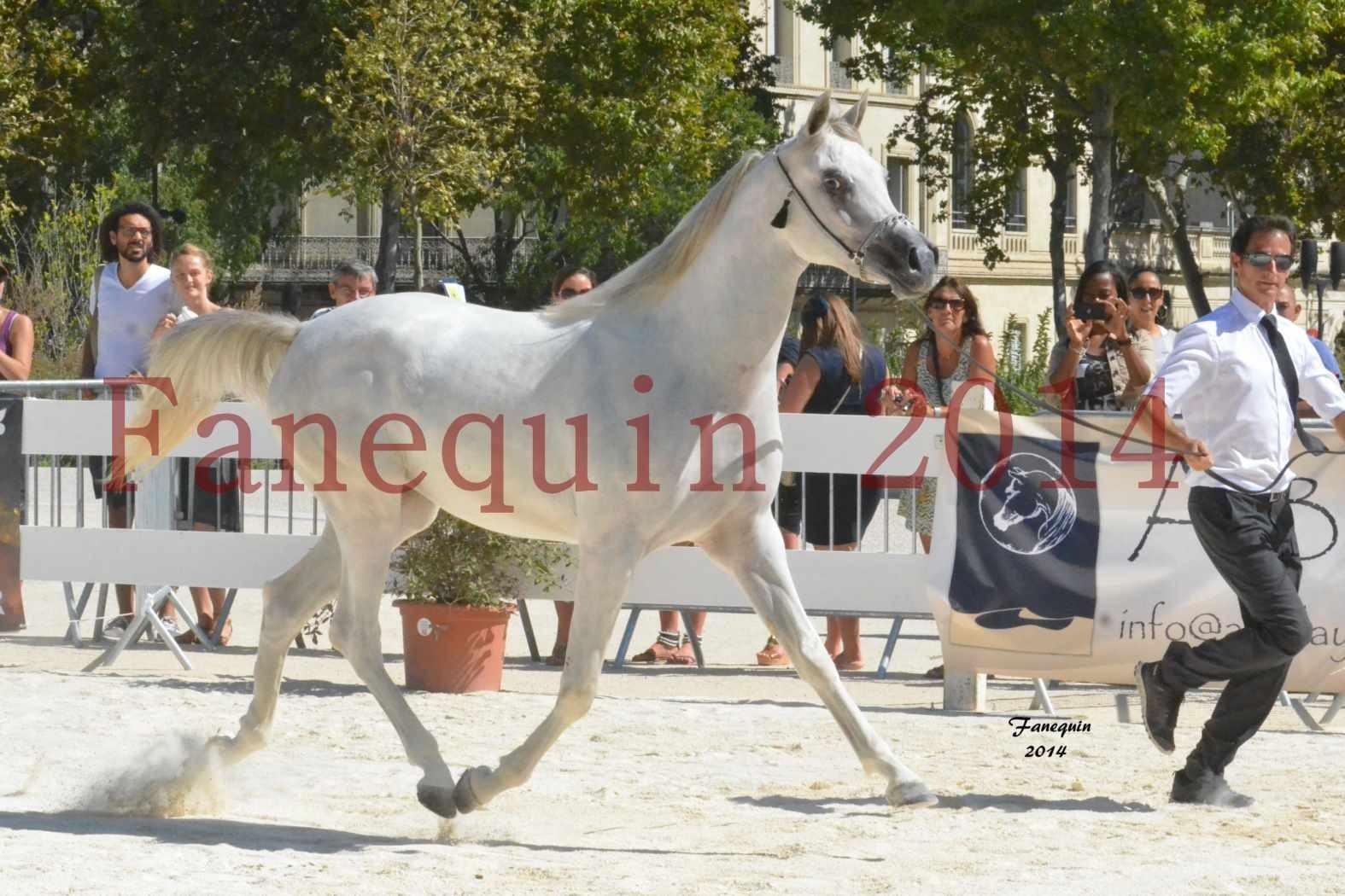 Concours National de Nîmes de chevaux ARABES 2014 - ENVY ETERNITY - 11