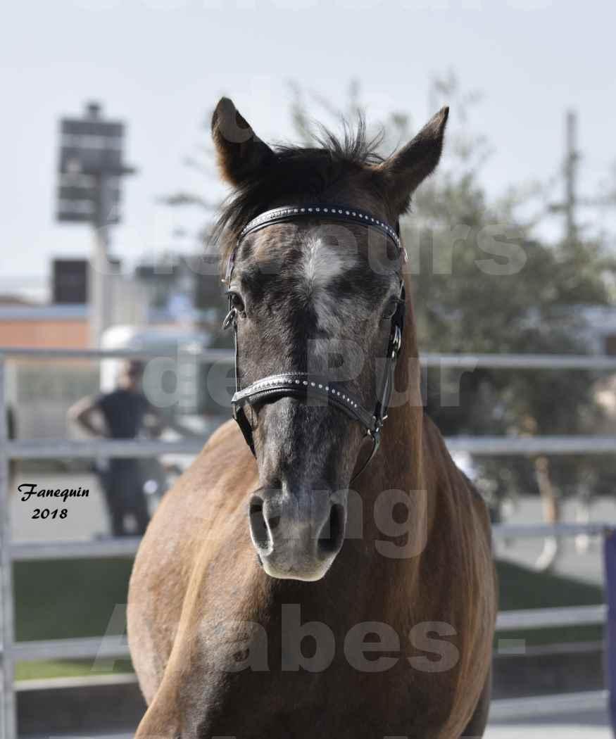 Concours d'élevage de Chevaux Arabes - Demi Sang Arabes - Anglo Arabes - ALBI les 6 & 7 Avril 2018 - GOUMRI DE L'AIGOUAL - Notre Sélection Portraits - 3