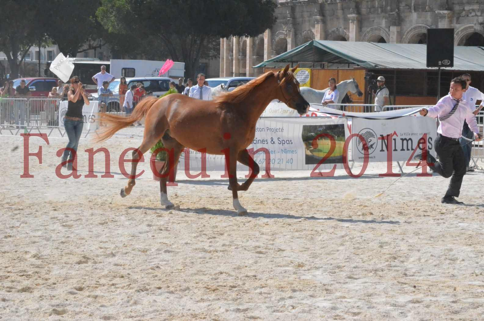 Concours National de Nîmes de chevaux ARABES 2014 - Championnat - MASSAI DE BARREL - 08