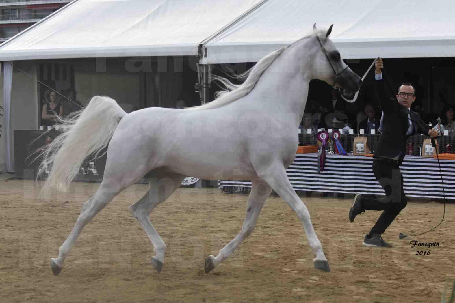 Show International de chevaux ARABES de MENTON 2016 - AJA ANGELO - 09