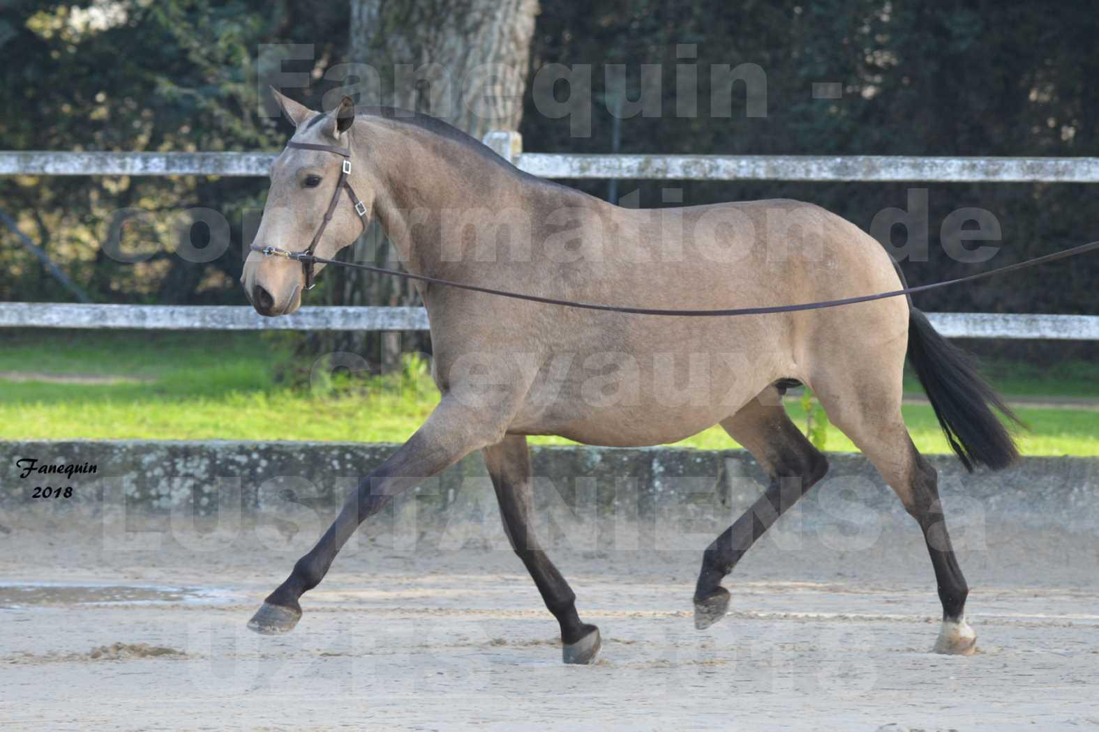 Confirmation de chevaux LUSITANIENS aux Haras d'UZES Novembre 2018 - DISTINTE - 4