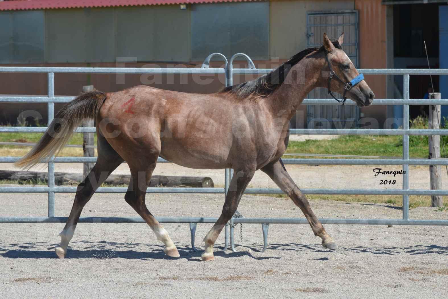 Concours d'Elevage de chevaux Arabes  le 27 juin 2018 à la BOISSIERE - FOXTROT FONT NOIRE - 04