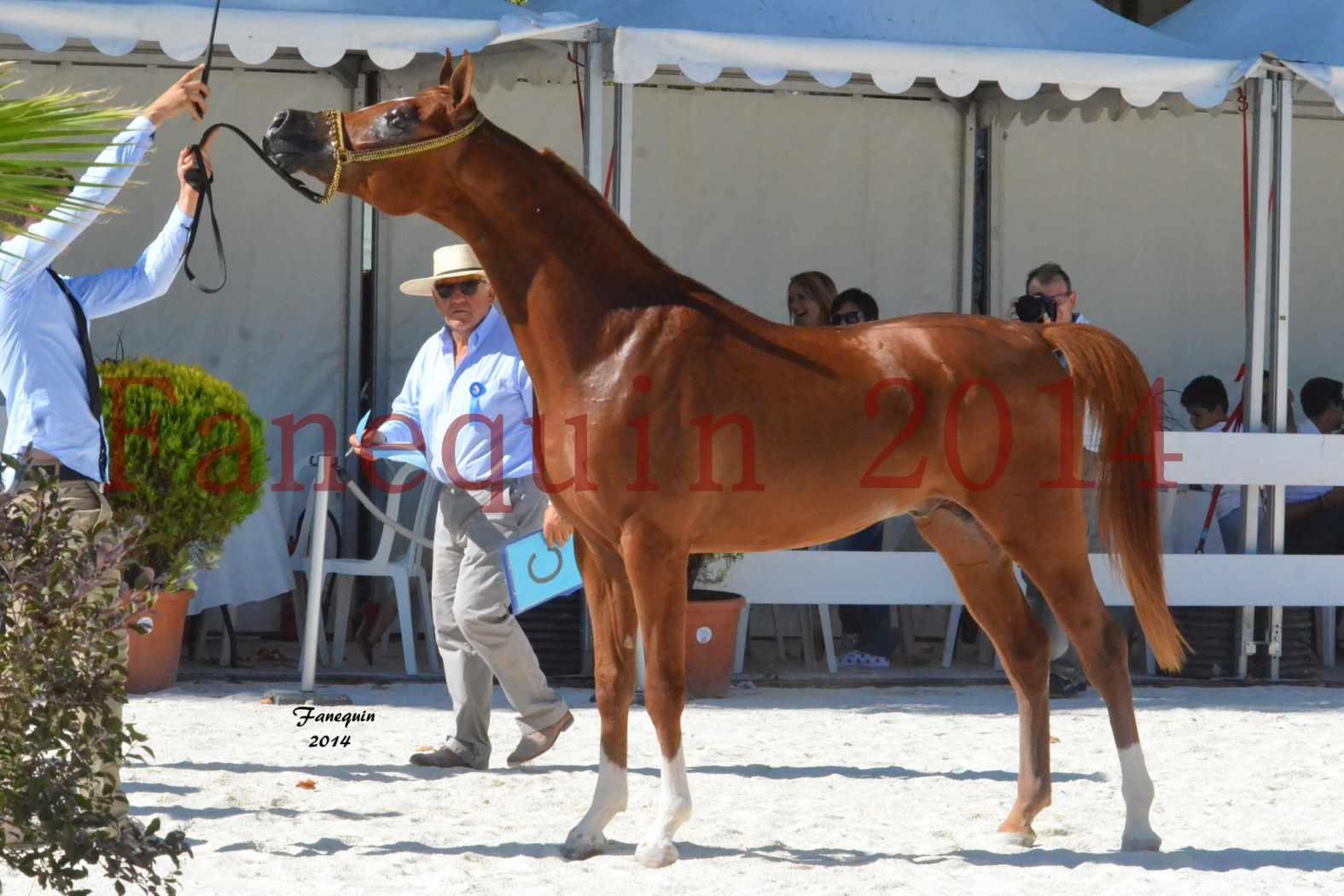 Concours National de Nîmes de chevaux ARABES 2014 - Notre Sélection - DZHARI NUNKI - 14