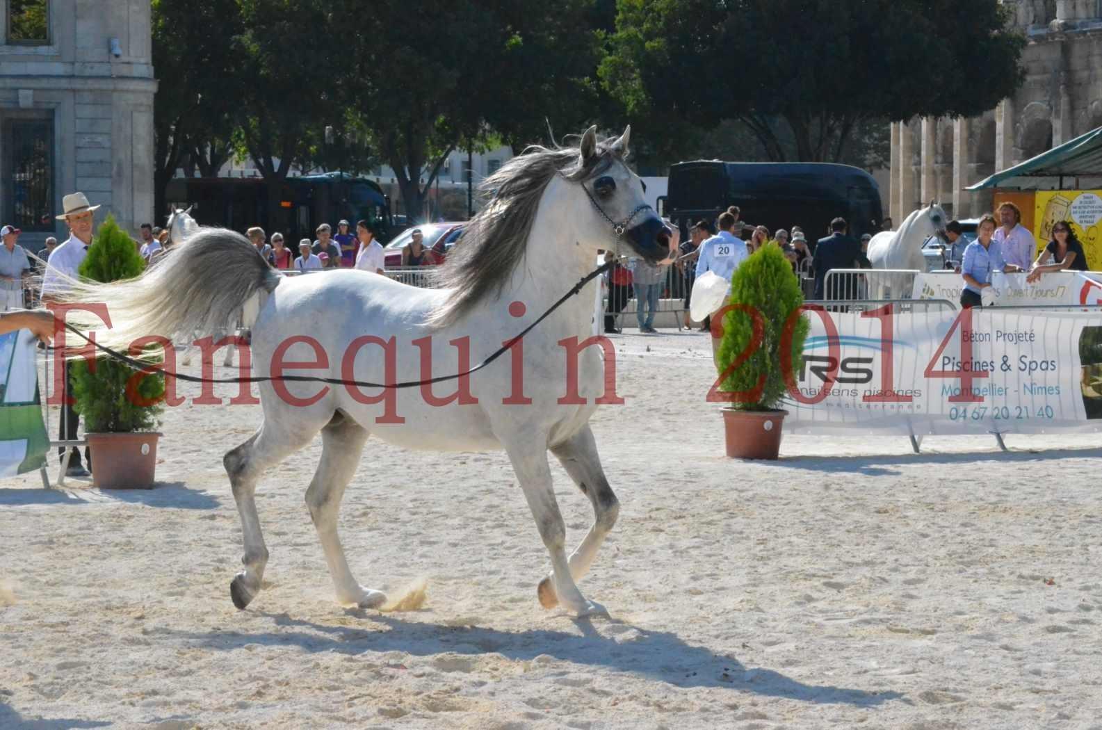 Concours National de Nîmes de chevaux ARABES 2014 - Championnat - SHAOLIN DE NEDJAIA - 36