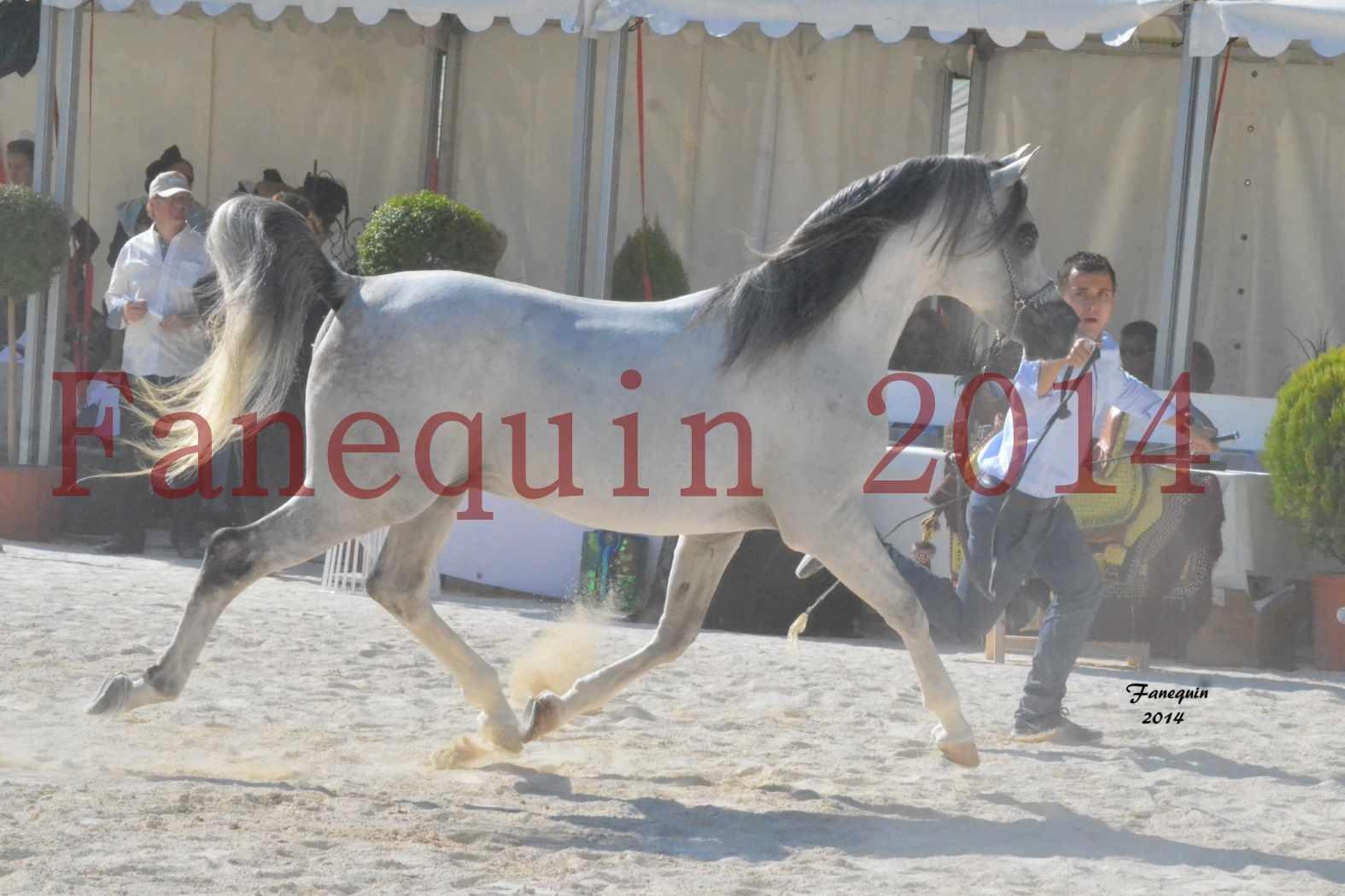 Concours National de Nîmes de chevaux ARABES 2014 - Notre Sélection - SHAOLIN DE NEDJAIA - 24
