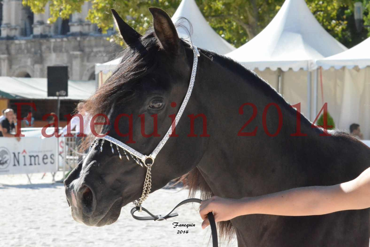 Concours National de Nîmes de chevaux ARABES 2014 - Notre Sélection - Portraits - BALTYK DE CHAUMONT - 7