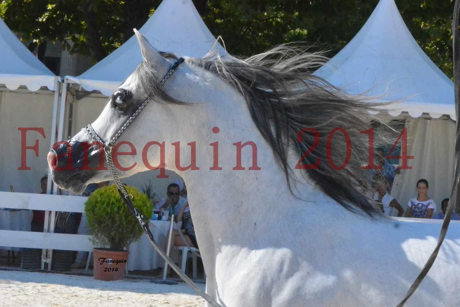 Concours National de Nîmes de chevaux ARABES 2014 - Notre Sélection - Portraits - SHAOLIN DE NEDJAIA - 17