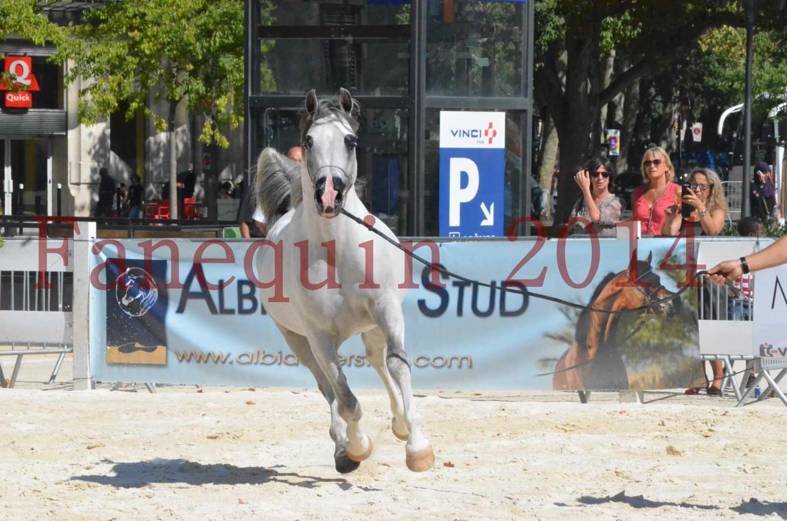 Concours National de Nîmes de chevaux ARABES 2014 - Sélection - SHAOLIN DE NEDJAIA - 46
