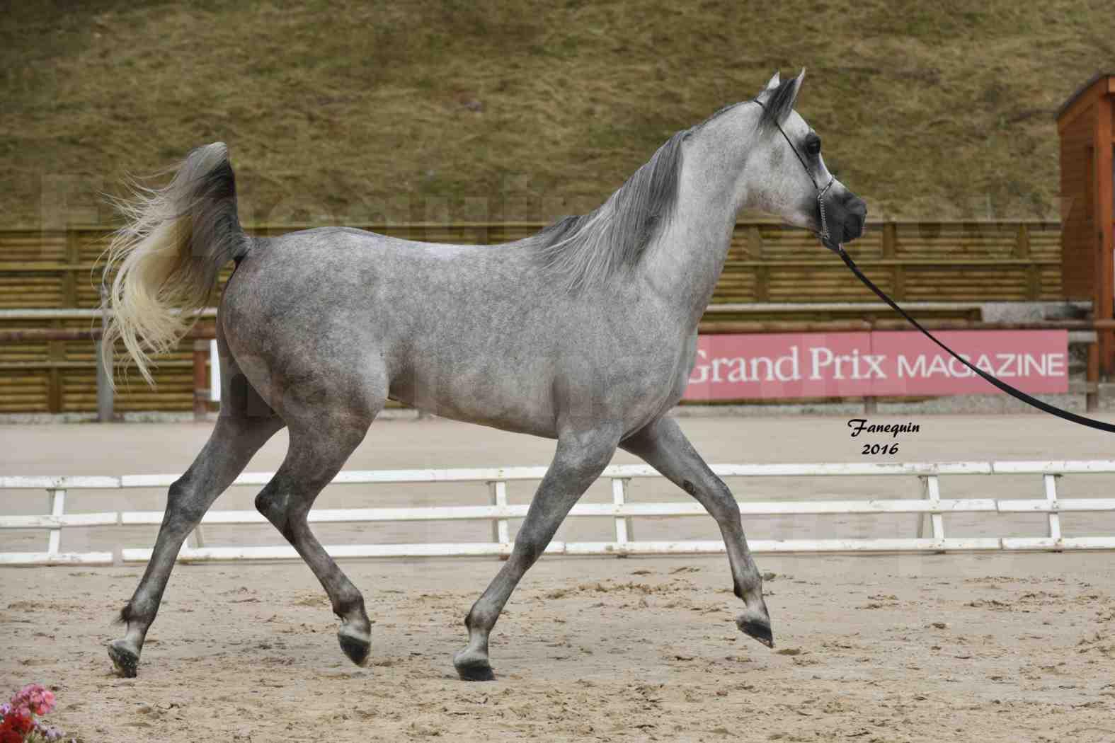Show national de chevaux arabe à CHAZEY sur AIN - ANWAR ISHANE - 13