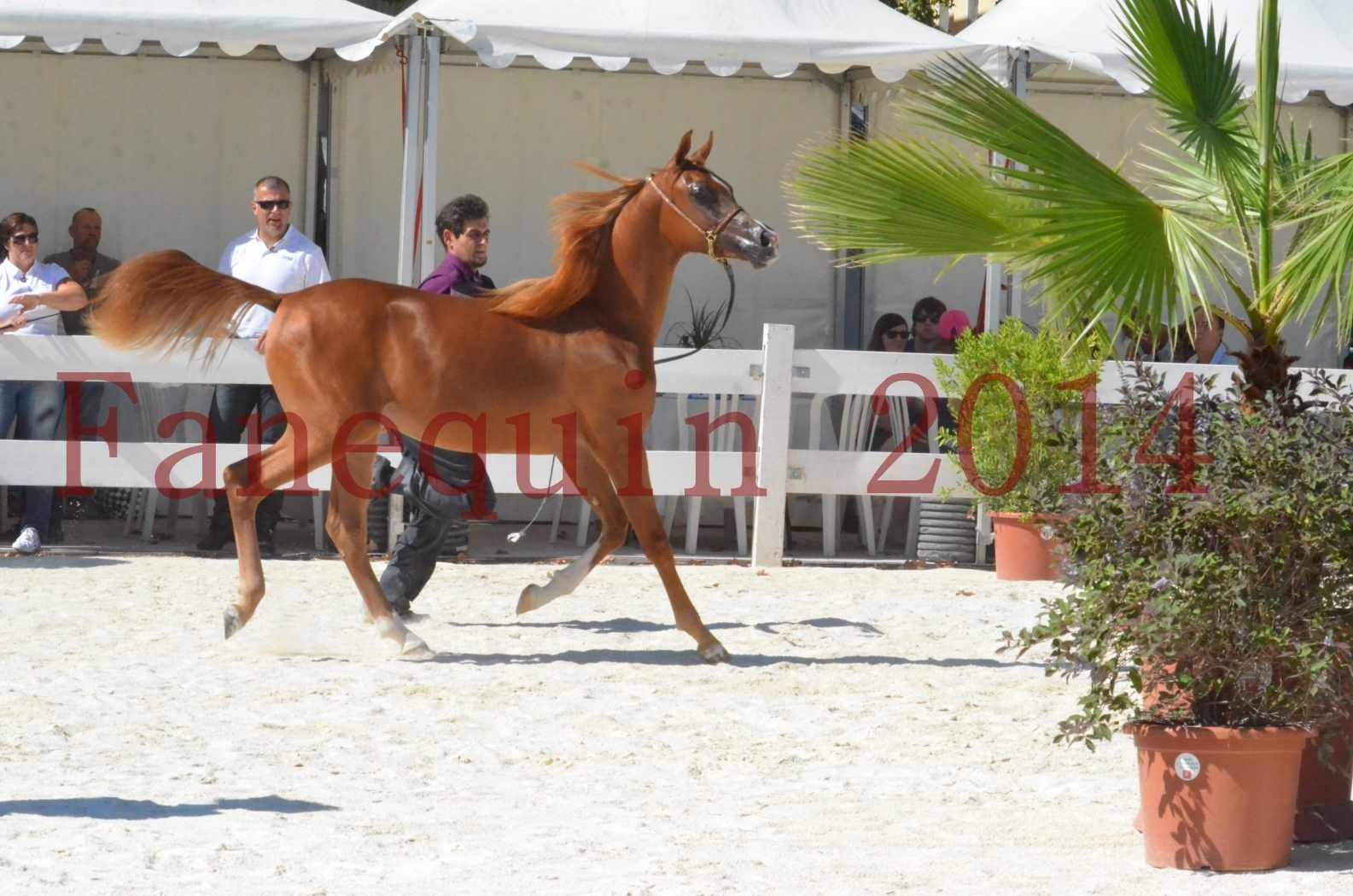 Concours National de Nîmes de chevaux ARABES 2014 - TSAR NERIO - 19
