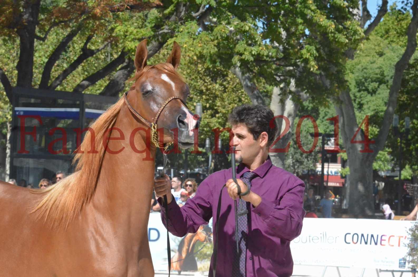 Concours National de Nîmes de chevaux ARABES 2014 - TSAR NERIO - 09