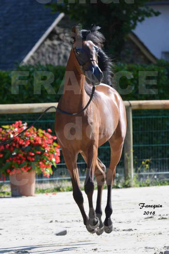 Championnat de FRANCE de chevaux Arabes à Pompadour en 2018 - BO AS ALEXANDRA - Notre Sélection - 36