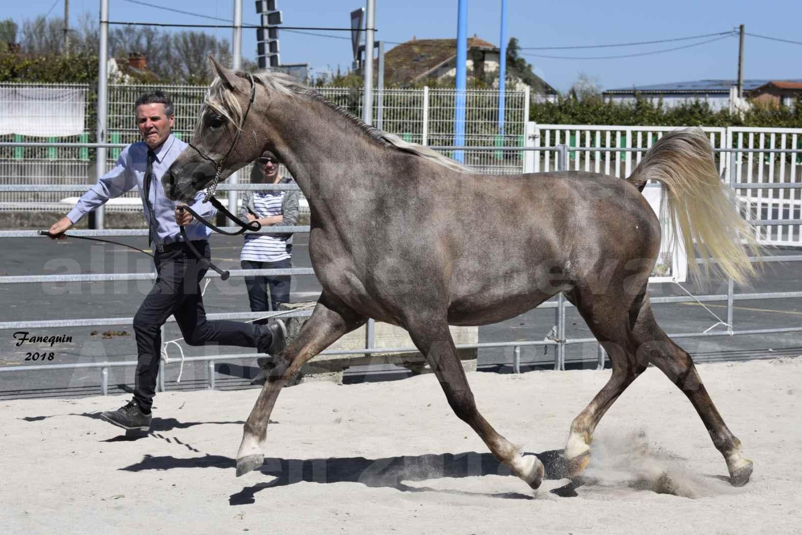 Concours d'élevage de Chevaux Arabes - Demi Sang Arabes - Anglo Arabes - ALBI les 6 & 7 Avril 2018 - DAENERYS DE LAFON - Notre Sélection - 01