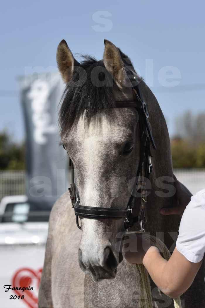 Concours d'élevage de Chevaux Arabes - Demi Sang Arabes - Anglo Arabes - ALBI les 6 & 7 Avril 2018 - GRIMM DE DARRE - Notre Sélection - Portraits - 2