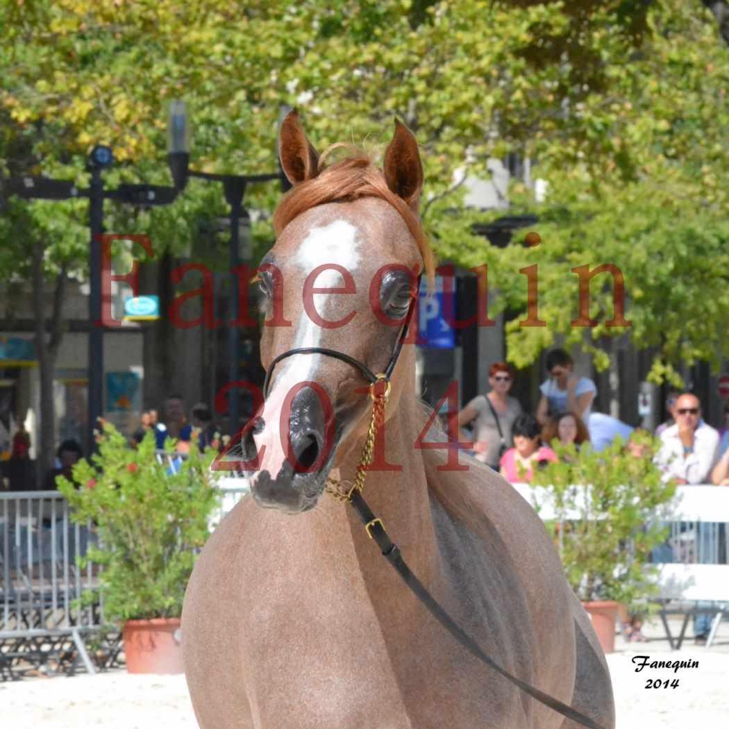 Concours National de Nîmes de chevaux ARABES 2014 - Notre Sélection - Portraits - ABYSS DE RODET - 2