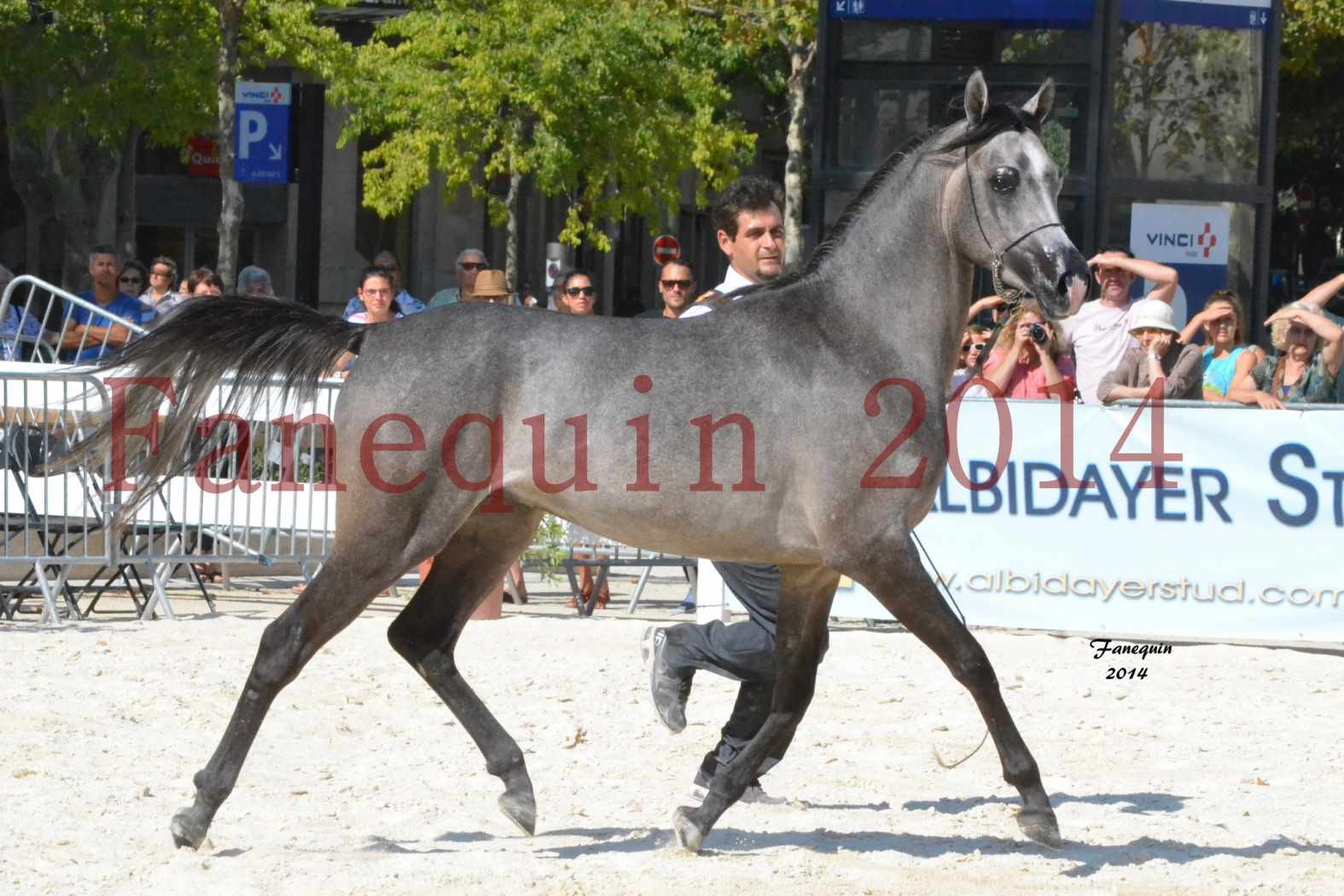 Concours National de Nîmes de chevaux ARABES 2014 - Notre Sélection - JOSEPH'S BOUZIOLS - 11