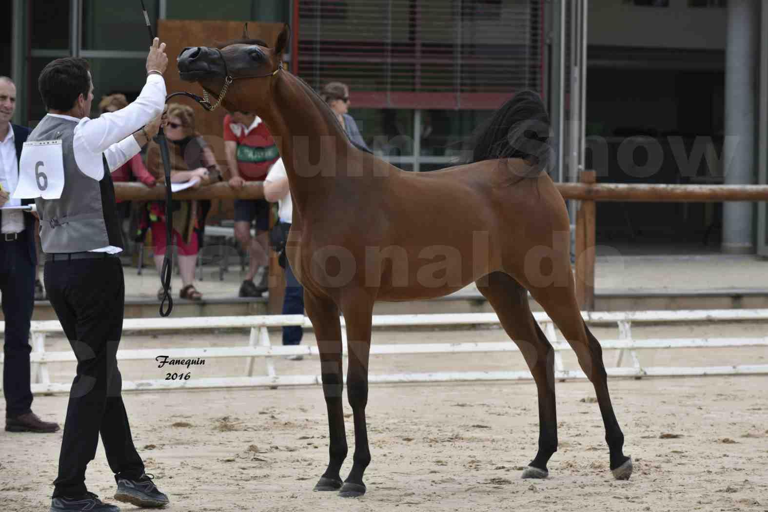 Show national de chevaux arabes de CHAZEY sur AIN - AZIZA DOMITIA - 3