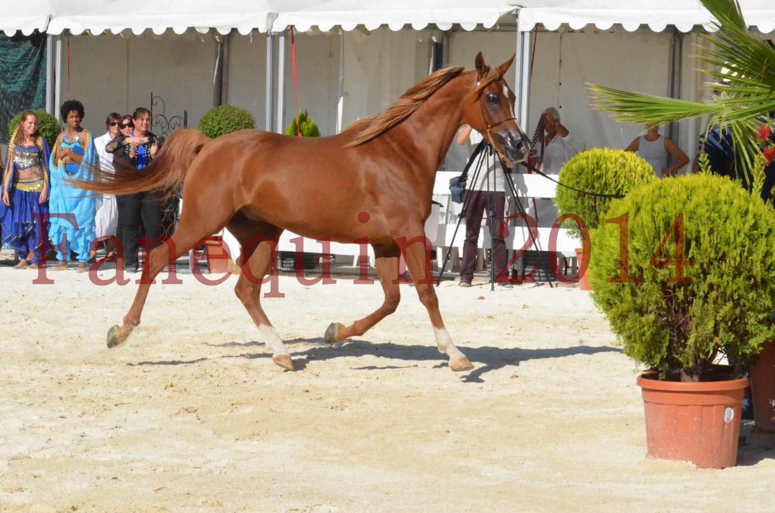 Concours National de Nîmes de chevaux ARABES 2014 - Championnat - MASSAI DE BARREL - 79