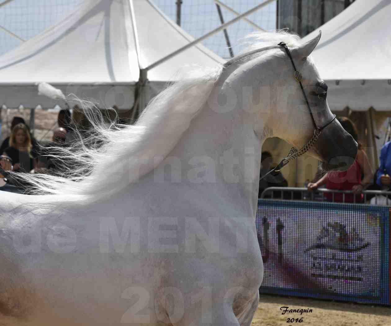 Show International de chevaux ARABES de MENTON 2016 - AJA ANGELO - Notre Sélection - Portraits - 08