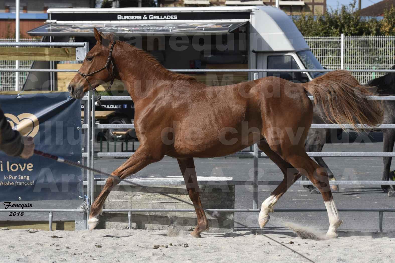 Concours d'élevage de Chevaux Arabes - D. S. A. - A. A. - ALBI les 6 & 7 Avril 2018 - GRIOU DU GRIOU - Notre Sélection - 2