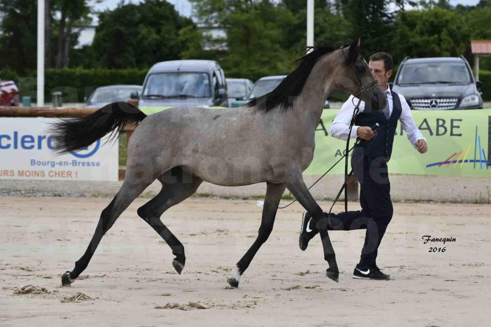 Show national de chevaux arabe de CHAZEY sur AIN - FALOUKA - 7