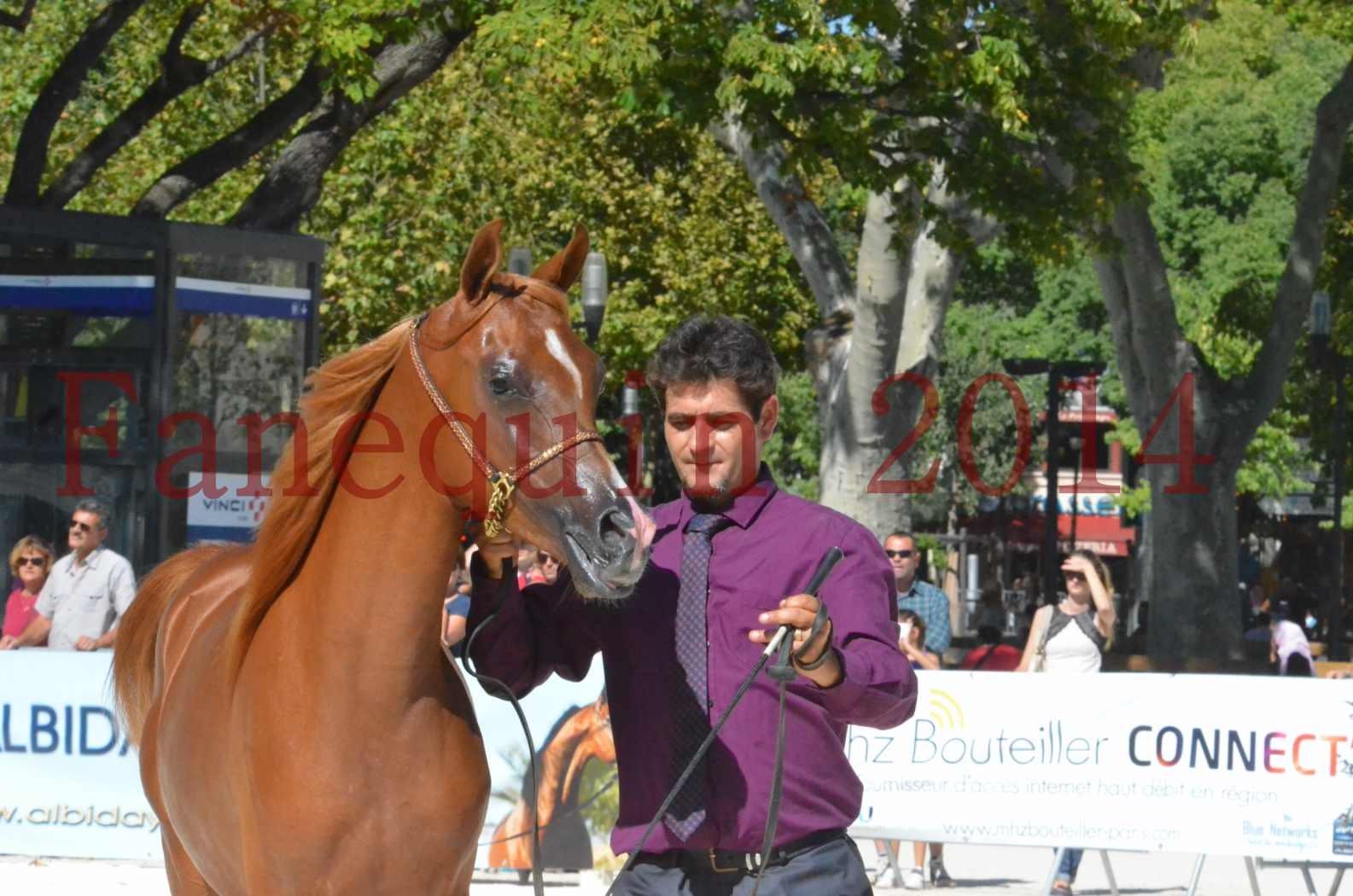 Concours National de Nîmes de chevaux ARABES 2014 - TSAR NERIO - 12