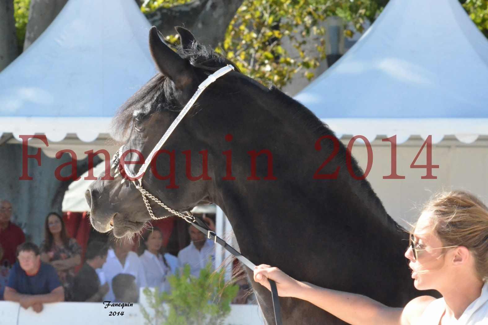 Concours National de Nîmes de chevaux ARABES 2014 - Notre Sélection - Portraits - BALTYK DE CHAUMONT - 6