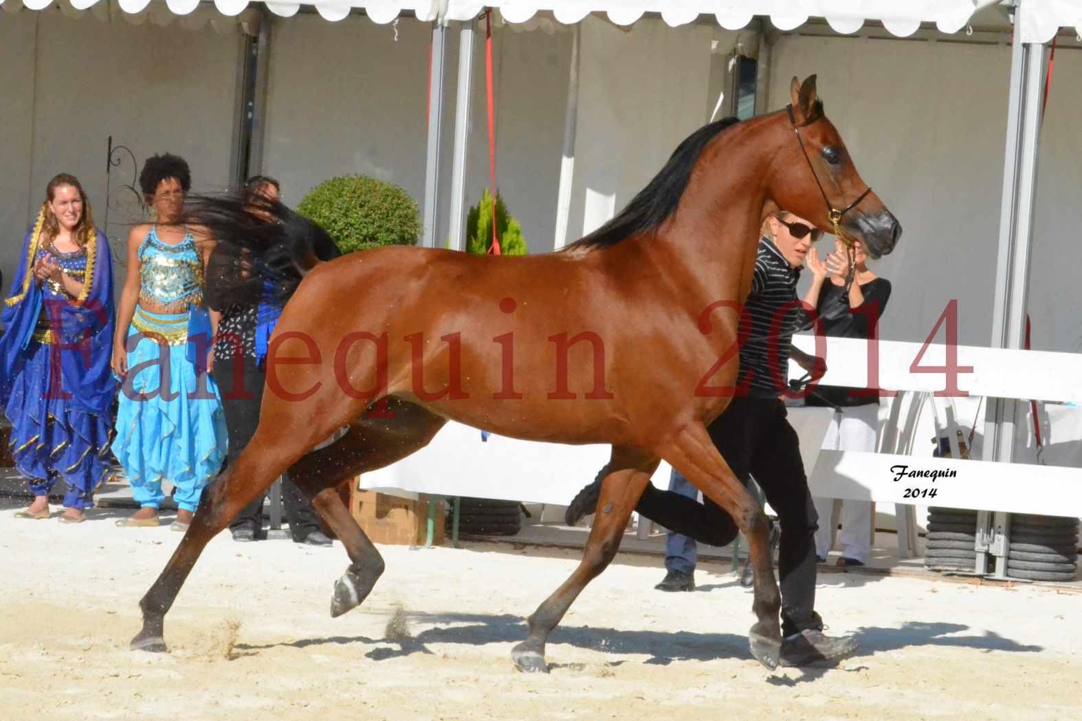 Concours National de Nîmes de chevaux ARABES 2014 - Notre Sélection - ABHA TALAWA - 1