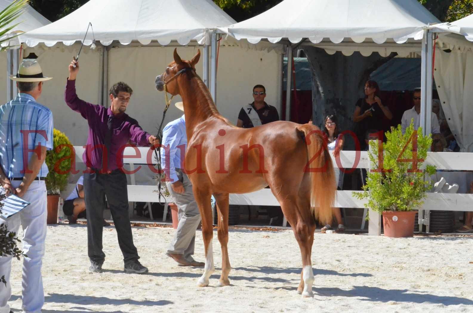 Concours National de Nîmes de chevaux ARABES 2014 - TSAR NERIO - 22