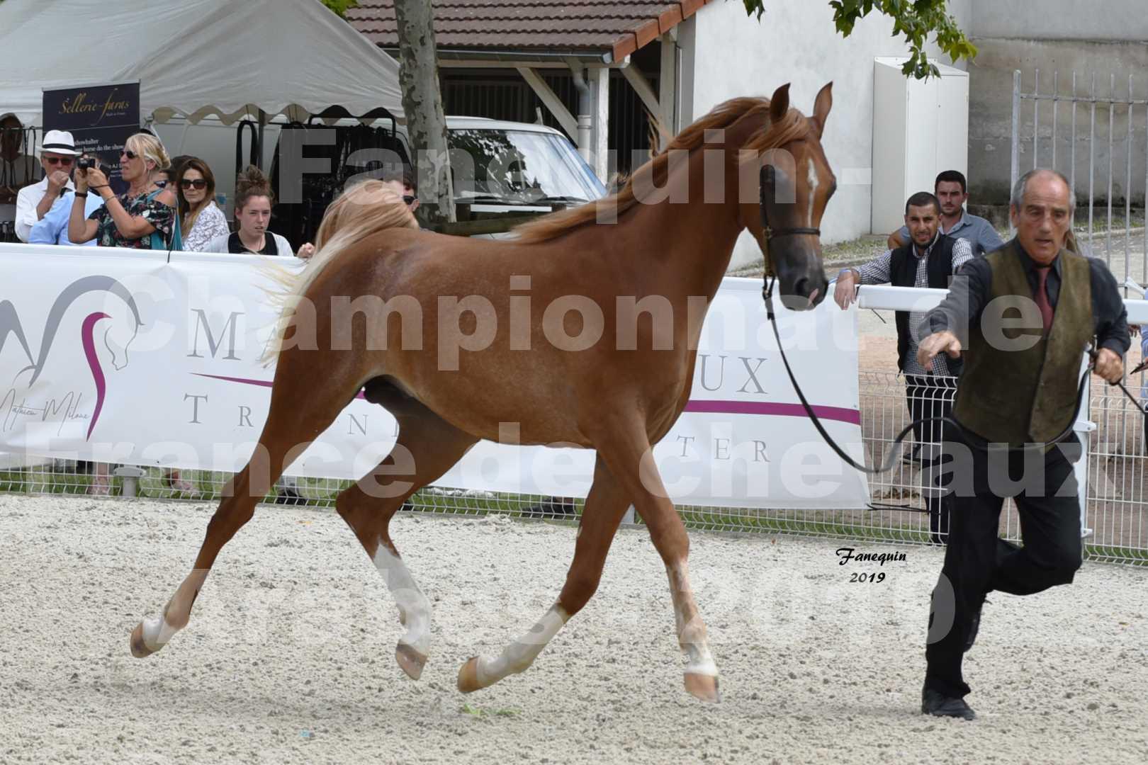 Championnat de France des chevaux Arabes en 2019 à VICHY - NILMANI SH - 3