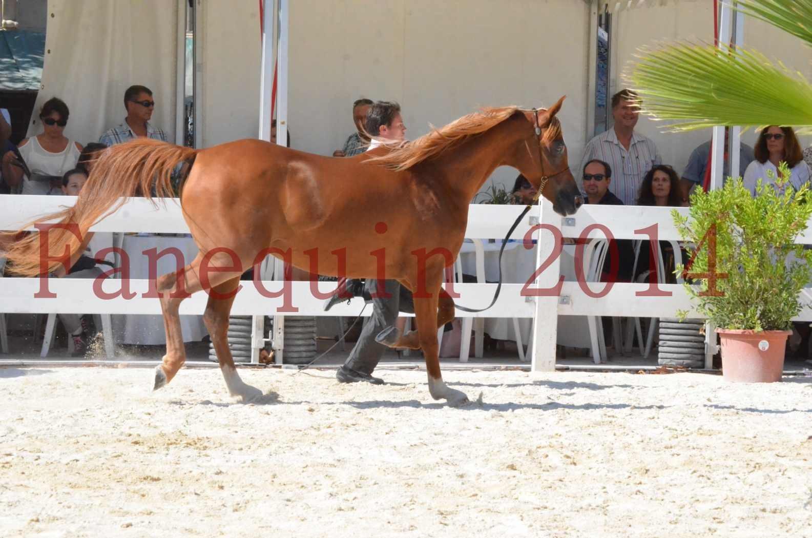 Concours National de Nîmes de chevaux ARABES 2014 - Championnat - MASSAI DE BARREL - 16