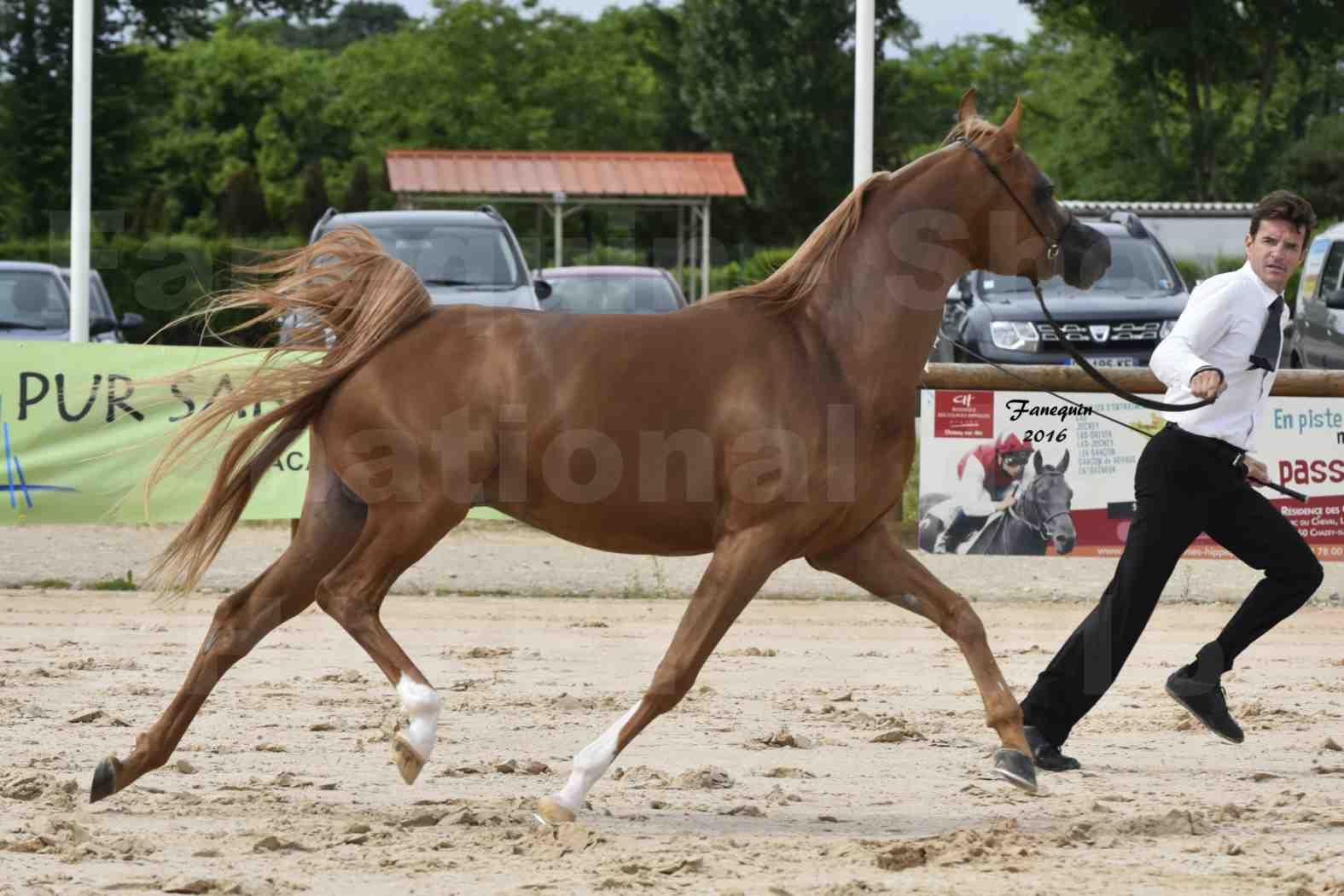 Show national de chevaux Arabes à CHAZEY sur AIN - AMJAD AL ADEYAT - 1