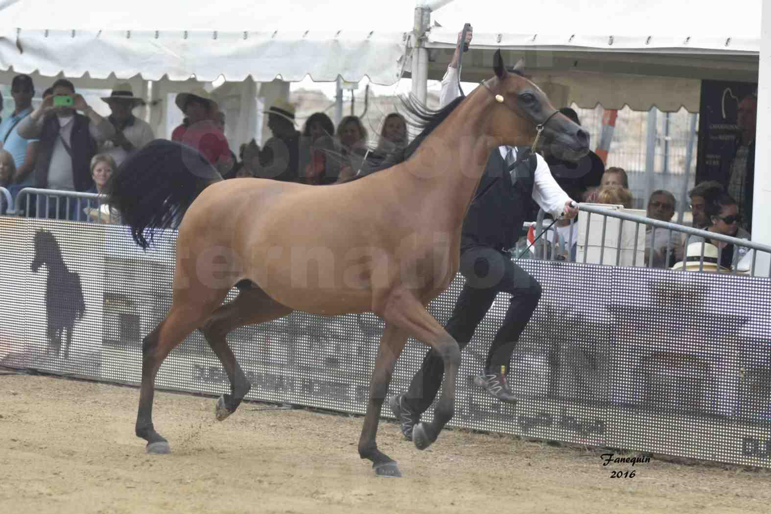 Championnat du Pur-Sang Arabe de la Méditerranée et des pays Arabes - MENTON 2016 - MAZAYA DOMITIA - Notre Sélection - 01